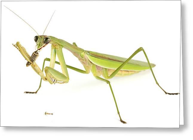 Chinese Mantis Feeding On Prey Greeting Card