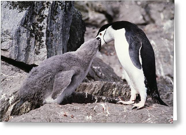 Chinstrap Penguin Feeding Chick Greeting Card by Doug Allan