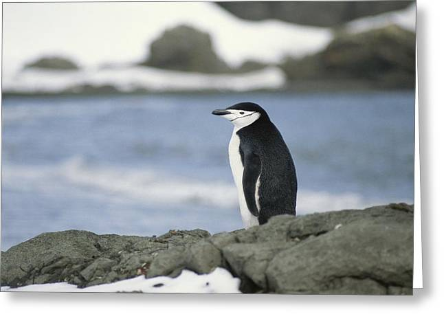 Chinstrap Penguin Greeting Card by Gordon Wiltsie