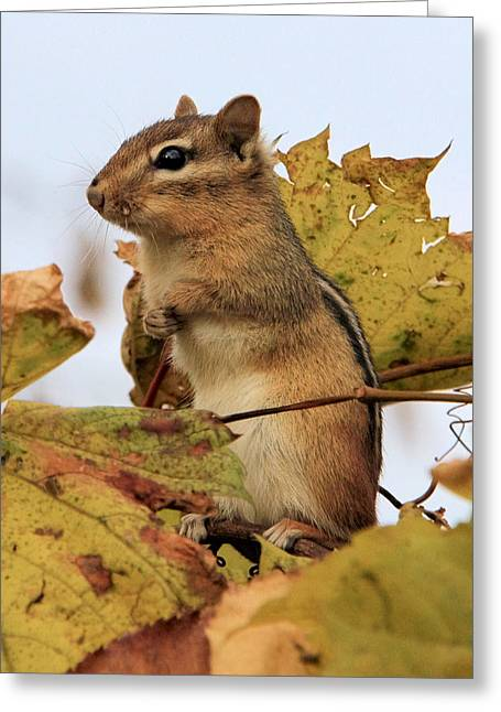 Chipmunk Greeting Card by Doris Potter