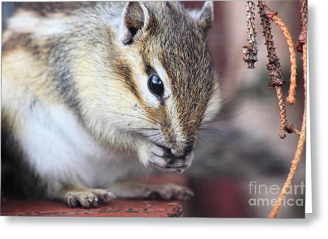 Chipmunk Eating A Nut Greeting Card