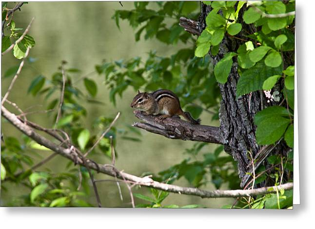Chipmunk Greeting Card by Ron Smith