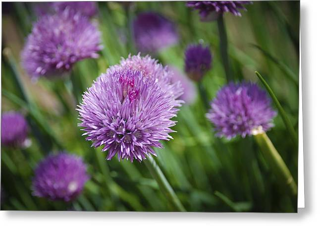 Chives Greeting Card by Kelly Rader