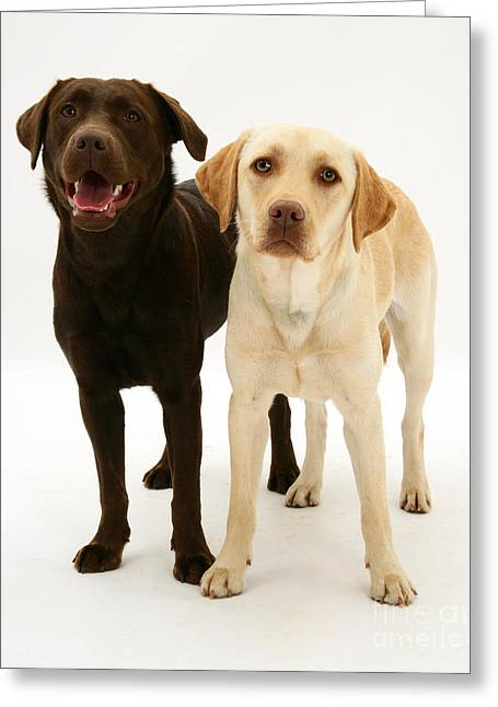 Chocolate And Yellow Labrador Retrievers Greeting Card by Mark Taylor
