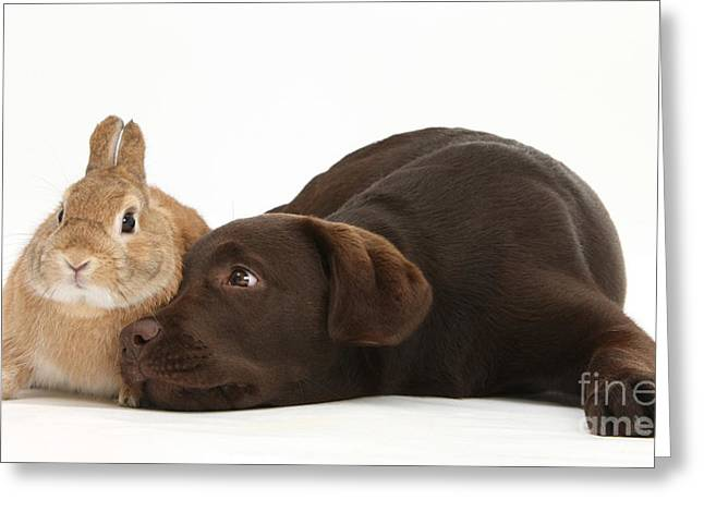 Chocolate Lab & Netherland-cross Rabbit Greeting Card by Mark Taylor
