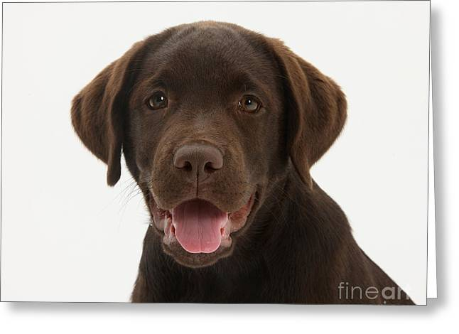 Chocolate Lab Puppy Greeting Card by Mark Taylor