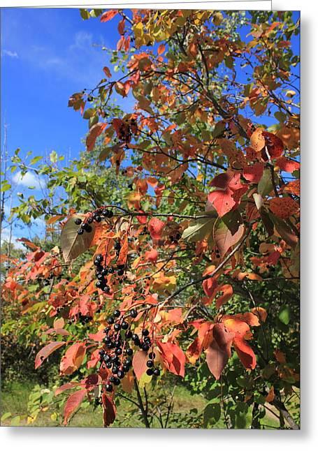 Chokecherry Tree Greeting Card by Jim Sauchyn