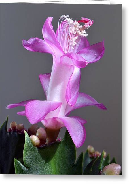 Christmas Cactus Greeting Card by Terence Davis