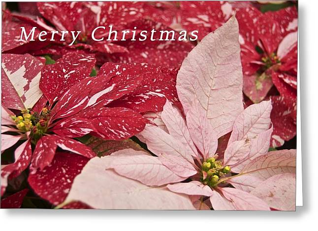 Christmas Poinsettias Greeting Card by Michael Peychich