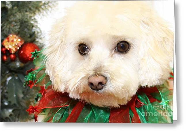Christmas Portraits - Maltipoo Greeting Card by Renae Crevalle