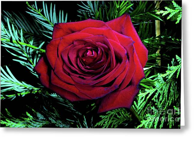 Christmas Rose Greeting Card by Mariola Bitner
