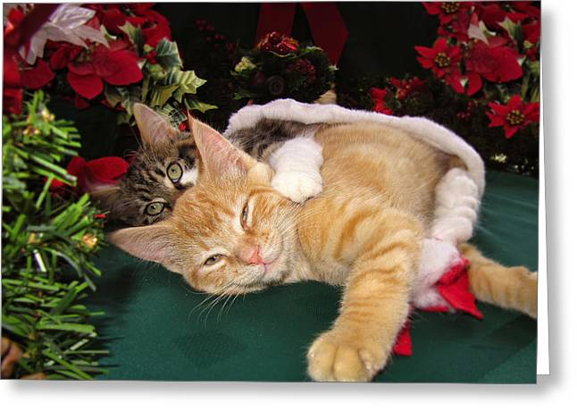 Christmas Time W Two Cats Together - Baby Maine Coon Kitty Cuddling With Smug Orange Tabby Kitten Greeting Card by Chantal PhotoPix