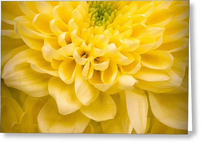 Chrysanthemum Flower Greeting Card by Ian Barber