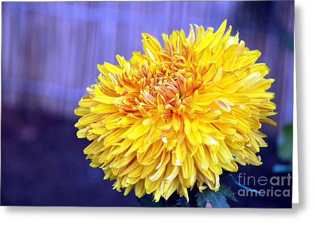 Greeting Card featuring the photograph Chrysanthemum by Pravine Chester