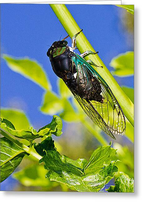 Cicada 002 Greeting Card by Barry Jones