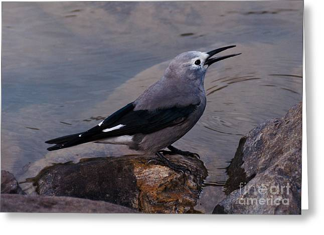 Greeting Card featuring the photograph Clark's Nutcracker by Cheryl Baxter