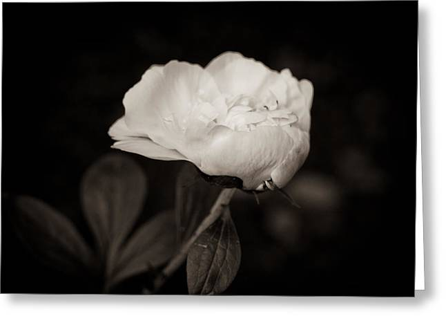 Greeting Card featuring the photograph Classic Peony by Sara Frank