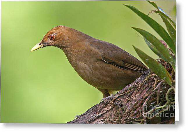 Clay-colored Thrush Greeting Card