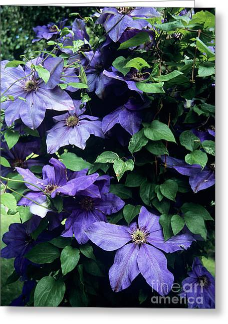 Clematis 'elsa Spath' Flowers Greeting Card by Adrian Thomas
