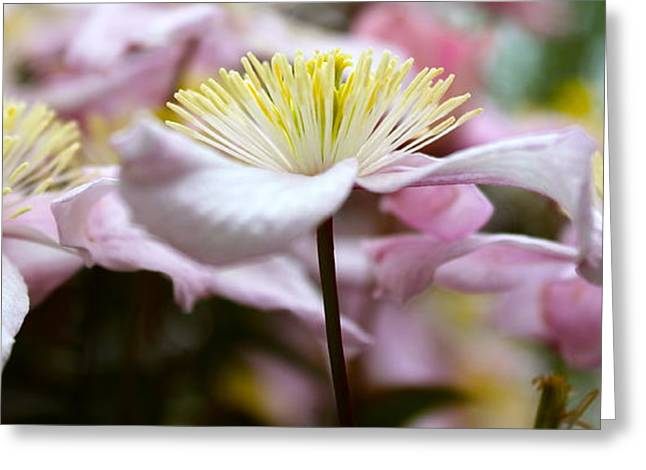Clematis Greeting Card by Karen Grist