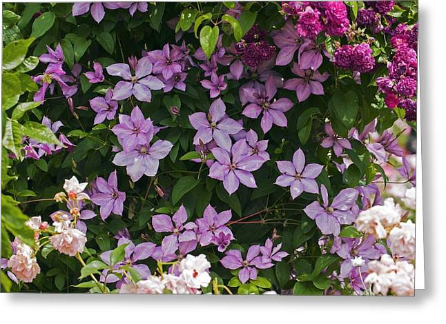 Clematis 'margaret Hunt' Greeting Card by Dr Keith Wheeler