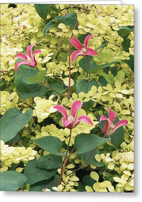 Clematis Texensis 'princess Diana' Greeting Card by Archie Young