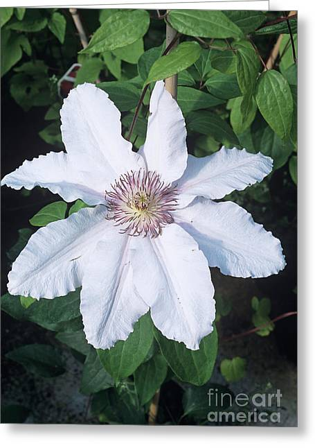 Clematis 'ville De Lyon' Flower Greeting Card by Adrian Thomas