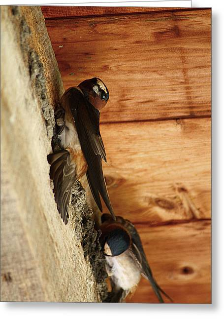Cliff Swallows 1 Greeting Card by Scott Hovind