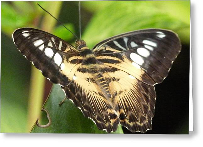 Greeting Card featuring the photograph Clipper Butterfly by Lynn Bolt