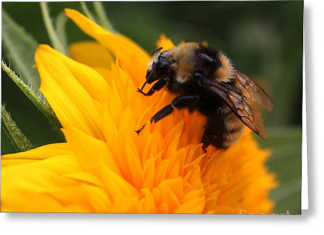 Close-up Bee On Sunflower Greeting Card