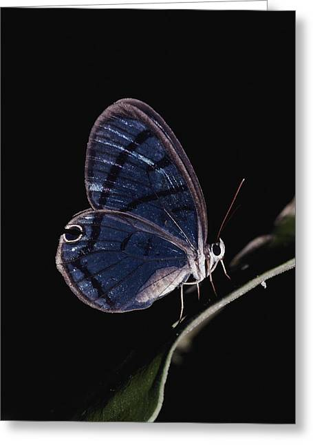 Close-up Of A Glassy-wing Butterfly Greeting Card by Mattias Klum