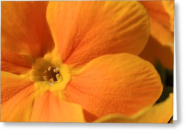 Close Up Of An Orange Primrose Flower Greeting Card by Joe Petersburger