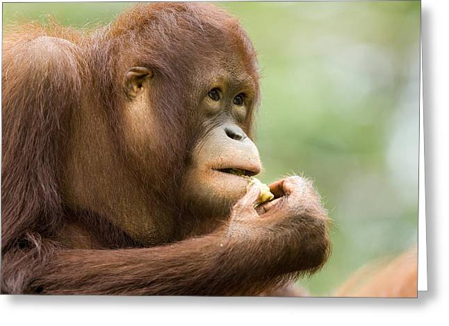 Close-up Of An Orangutan Pongo Pygmaeus Greeting Card by Tim Laman