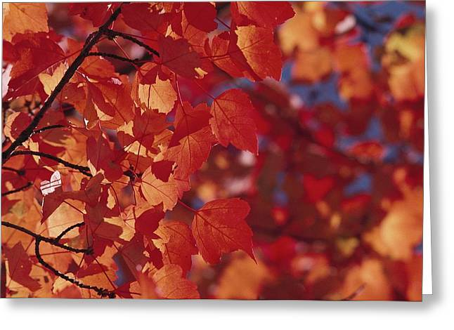 Close-up Of Autumn Leaves Greeting Card by Raymond Gehman