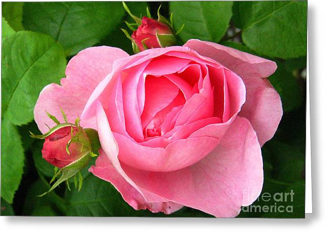 Rose And Rose Buds Greeting Card
