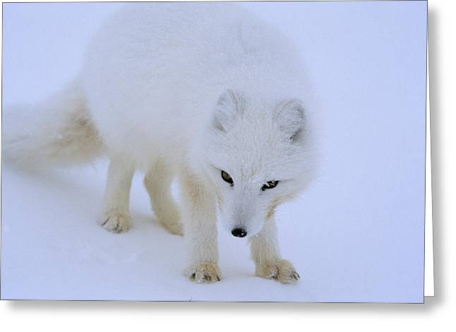 Close Up Portrait Of A White Arctic Greeting Card by Norbert Rosing