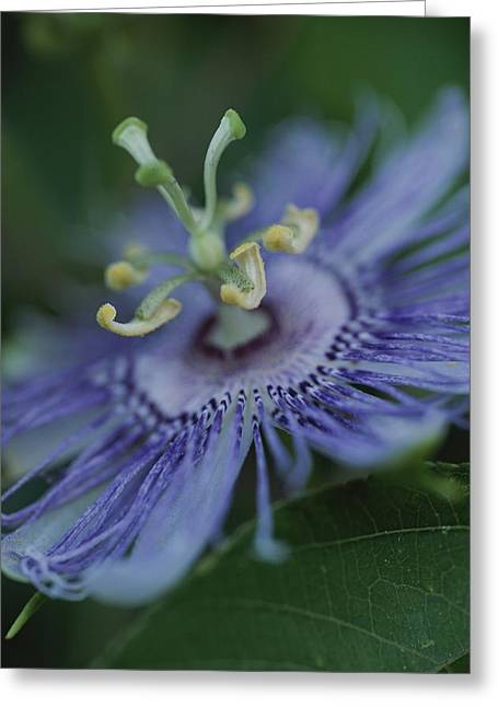 Close View Of A Passion Flower Greeting Card by Michael Melford