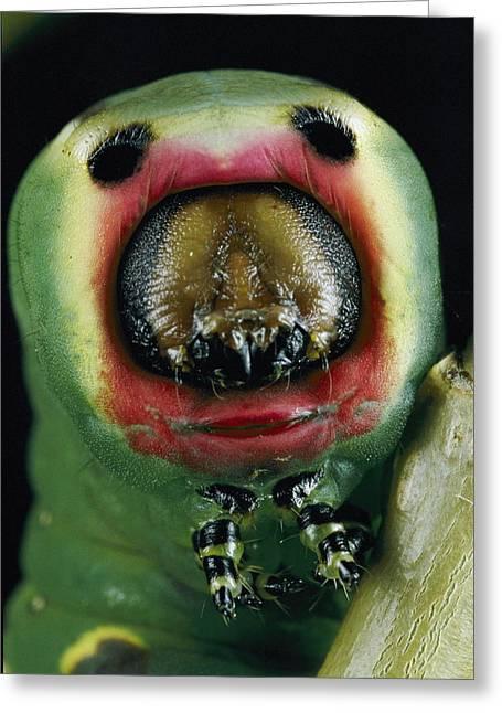 Close View Of A Puss Moth Caterpillar Greeting Card by Darlyne A. Murawski