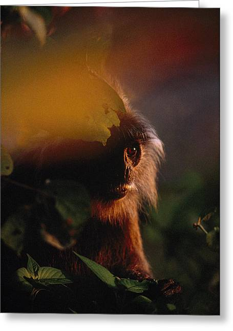 Close View Of A Silvered Leaf Monkey Greeting Card