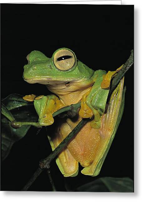 Close View Of A Wallaces Flying Frog Greeting Card