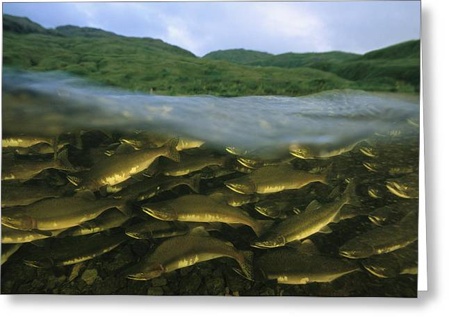 Close View Of Pink Salmon Swimming Greeting Card