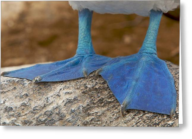 Close View Of The Feet Of A Blue-footed Greeting Card by Tim Laman