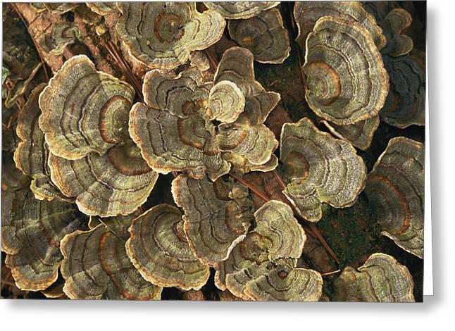 Close View Of Turkey-tail Fungi Greeting Card by Darlyne A. Murawski