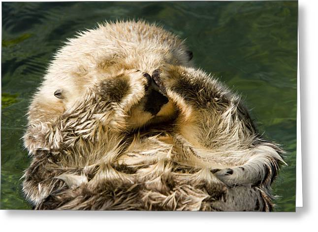 Closeup Of A Captive Sea Otter Covering Greeting Card by Tim Laman