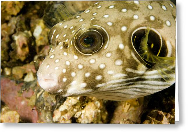 Closeup Of A White Spotted Puffer Fish Greeting Card by Tim Laman