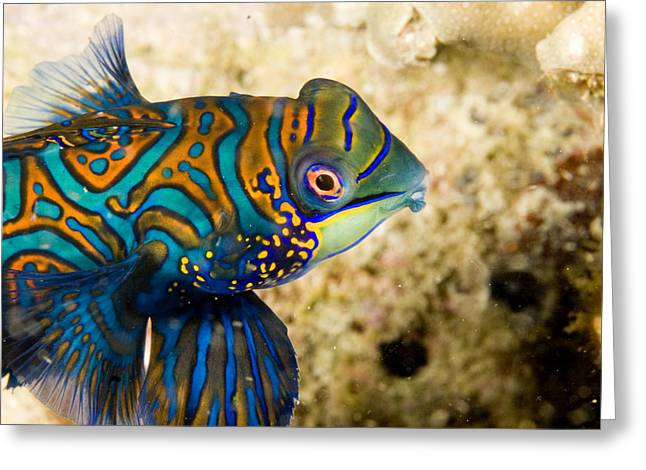 Closeup Of Male Mandarinfish Greeting Card