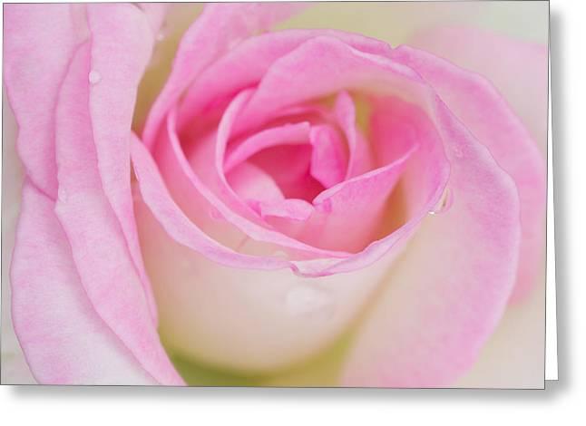 Closeup Pink Rose Greeting Card