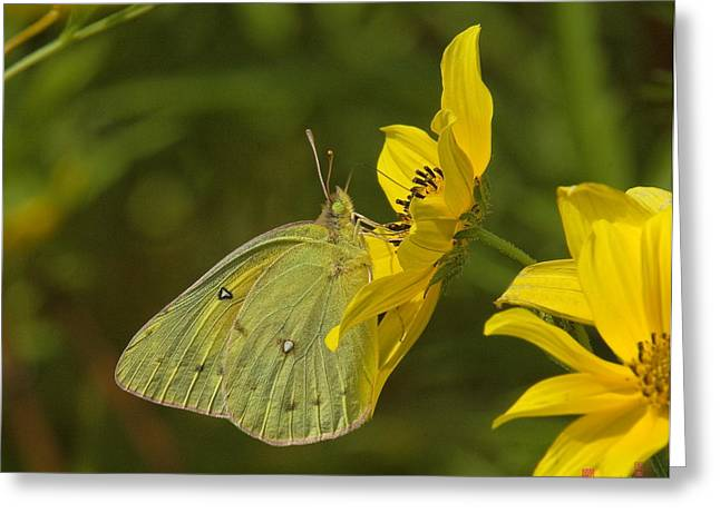 Clouded Sulphur Butterfly Din099 Greeting Card