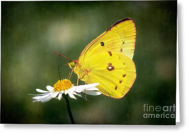 Clouded Sulphur Butterfly Greeting Card by Susan Isakson