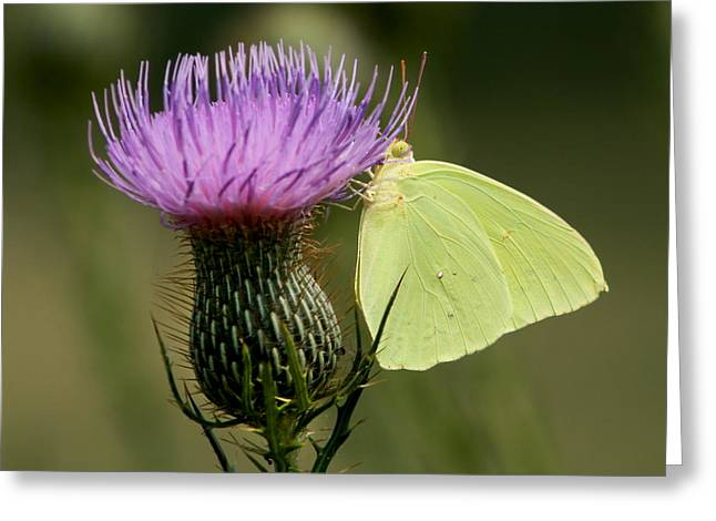 Cloudless Sulfur Butterfly On Bull Thistle Wildflower Greeting Card by Kathy Clark